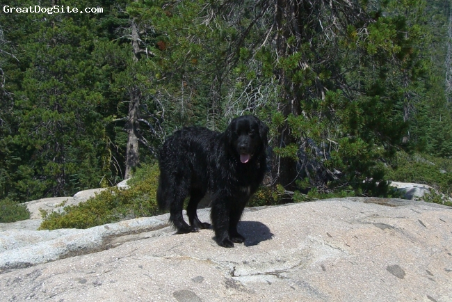Golden Newfie, 2 1/2 years, Black w/ white on chest, Yogi is an awesome dog.  He is about 130 lbs.  He is smaller than a typical newf male, but bigger than a golden.  He is very sweet, but thinks he's small, so he leans and jumps (we're still working on that)  He gets along really well with all other animals and with all people.  (We also have another dog and two cats)  