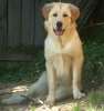 Golden Pyrenees, 8 months old, Platinum Blonde