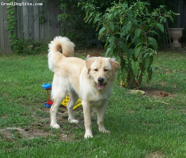 Golden Pyrenees, 1 year old, Platinum Blonde, Golden Pyreness Photo