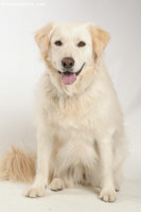 Golden Pyrenees, 3 1/2 years, Cream/Golden, Dolce rescued us 2 1/2 years ago. Before she found her way to us, she was abused, underweight (52 lbs), and had already had a litter of puppies (around the age of 1). Now, she weighs 75 lbs. is very happy, healthy, smart, and sweet.