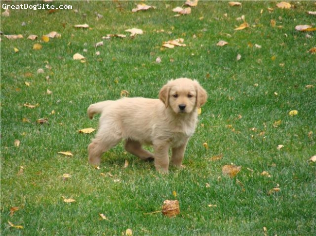 Golden Retriever, 4 months, Golden, A very active golden puppy, loves to fetch and retrieve