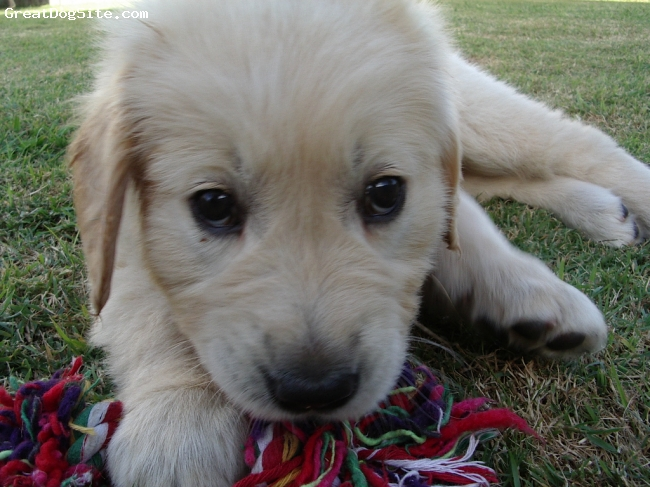 Golden Retriever, 4 mths, cream, Hi My Name Is Abbey and i live in Brisbane Australia