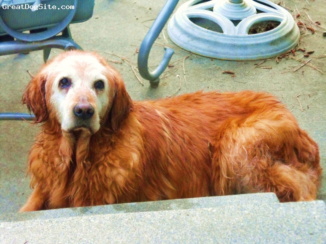 Golden Retriever, 17, RED, IN MEMORIUM TO A WONDERFUL HIKING BUDDY AND MIGHTY HUNTER......SHE DIED 9-25-10.....TWO AND A HALF MONTHS SHY OF TURNING 18 YRS. OLD....SHE WAS TRULY AMAZING AND ACTIVE UNTIL THIS PAST YEAR. MISS YOU GIRL!