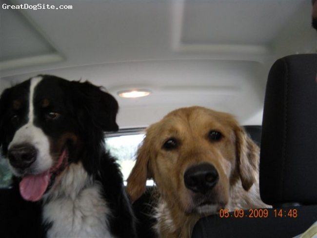 Golden Retriever, 4 1/2, Golden, This is Bailey my Golden Retriever with his best buddy Snoop Dog he is a Bernese Mountain dog.