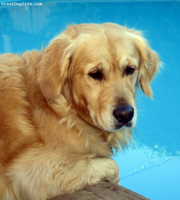 Golden Retriever, 3 years, Golden, Ben is a loving dog, still very naughty, in a cheeky way. Has got a mate, an English Springer, and two of his pups at home. He needs all his friends to play with, very active. Loves swimming.