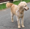 Goldendoodle, unsure, cream