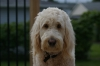 Goldendoodle, 20 months, Golden