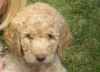 Goldendoodle, 9 weeks, tan