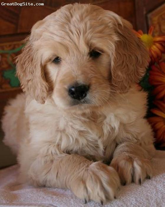Goldendoodle, unsure, cream, puppy