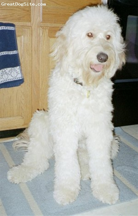 Goldendoodle, unsure, white, old photo