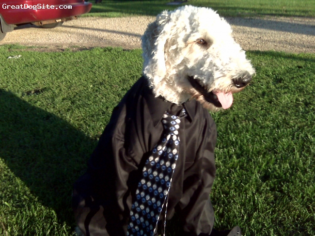 Goldendoodle, 2yrs, white, He loves to run and play. although he is 75#'s he wishes he was a lap dog. Yagar is full of affection! Great with the grandchildren, must watch him with the small ones just because of his size. Loves to go in the car and to the  park to swim. Great with other dogs! Loved to dig BIG holes until trained. Recommend early training because they are very strong. Great dog!