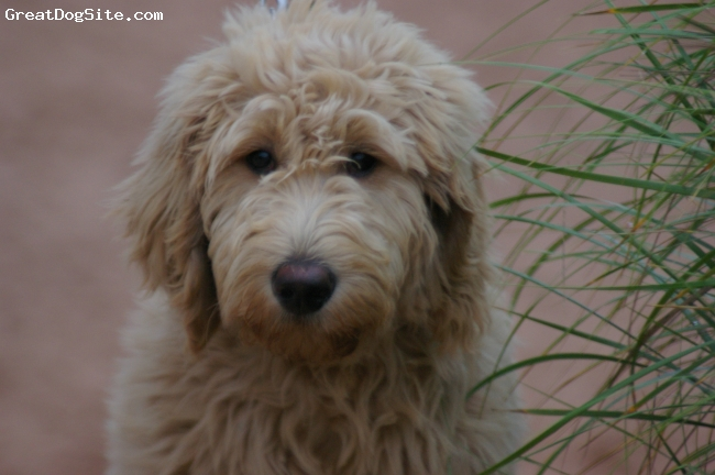 Goldendoodle, 6months, Golden, Born Jan 2009, she is now 64lbs with the most beautiful temperment.