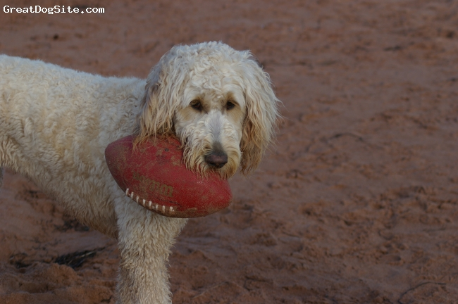 Goldendoodle, 11/2 years, Golden, Football Chick