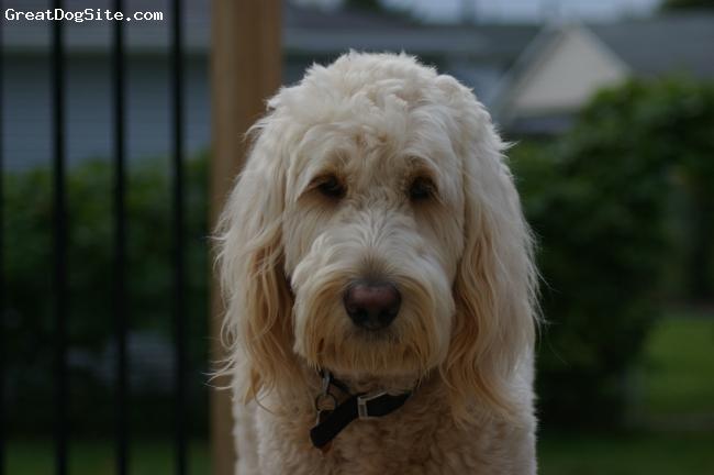 Goldendoodle, 20 months, Golden, Full Grown 64 lbs