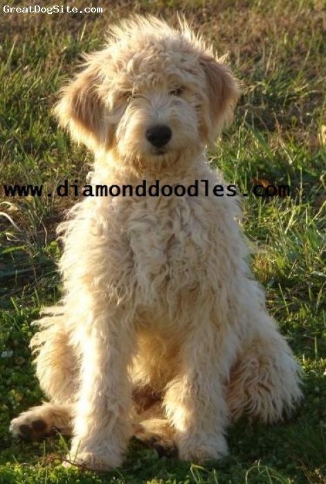 Goldendoodle, 1 year, cream, F1B Mini Goldendoodle