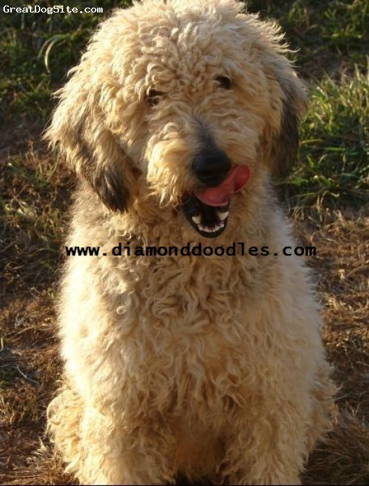 Goldendoodle, 1 year, cream & black, F1 Goldendoodle 