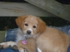 Gollie, 3 months, golden
