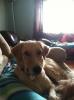 Gollie, 2 Years, Golden