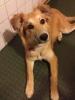 Gollie, Aprox. 8 months, red-golden