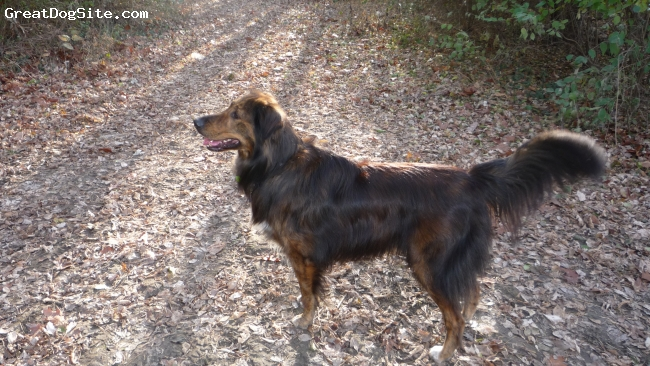 Gollie, 5 years, Reverse Brindle, 80 lbs, Rough Collie/Golden Retriever (Gollie) Hybrid