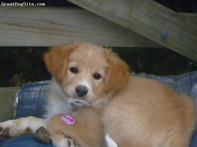 Gollie, 3 months, golden, Shelby is a red border collie, golden retriever cross.  She is turning into a fabulous family dog, quiet, loving and very responsive.