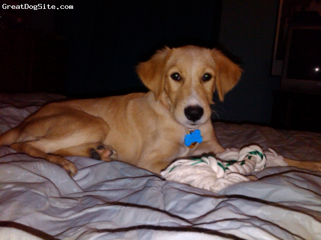 Gollie, 6 Months, Golden, This was day one of Dollie entering my life. Adoption day. She's smart, loving, motherly, always ready to play, and just a great dog all around. I've never owned a better dog. She's perfect.
