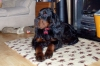 Gordon Setter, 1yr, Black & Tan