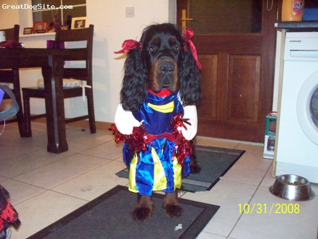 Gordon Setter, 1yr, Black & Tan, Lively fun loving dog, but not too impressed with halloween costume!!