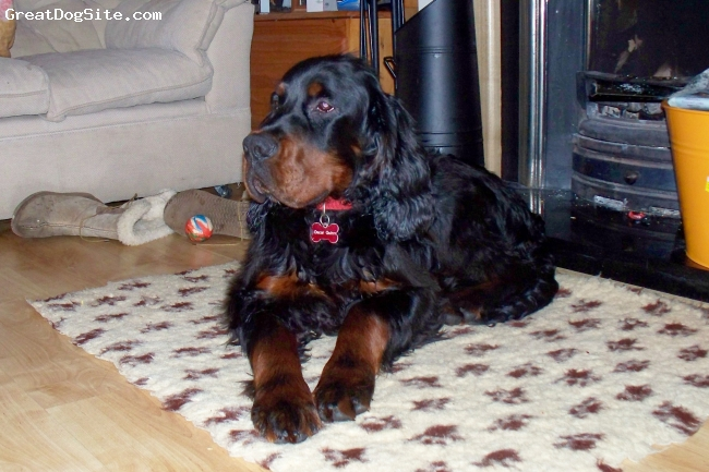 Gordon Setter, 1yr, Black & Tan, Relaxing