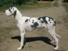 Great Dane, 1yr., harl