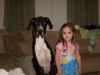 Great Dane, 16 months, black and white harliquin