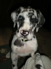 Great Dane, 7WKS, HARL