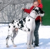 Great Dane, 6,5, harlequin