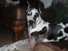 Great Dane, 10 months, Arlequin