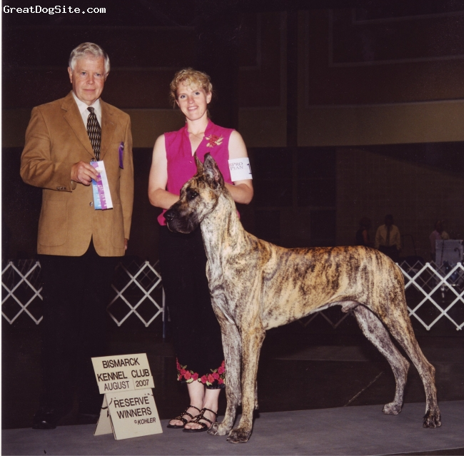 Great Dane, 3yrs, Brindle, TaDa Great Danes,Minnesota.