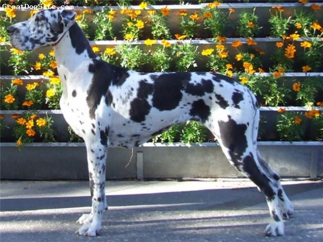 Great Dane, 6, harlequin, Absolutly amazing girl.
