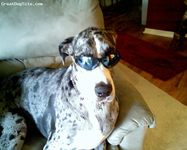 Great Dane, 3 yrs., Mantle, I could not resist sending this picture. Star is a 160 lb. loveable baby!
