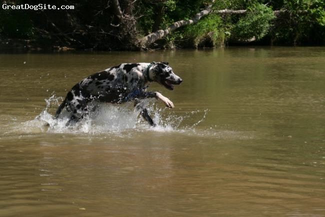 Great Dane, 2 years, Harlequin, Soldier having a blast at the creek