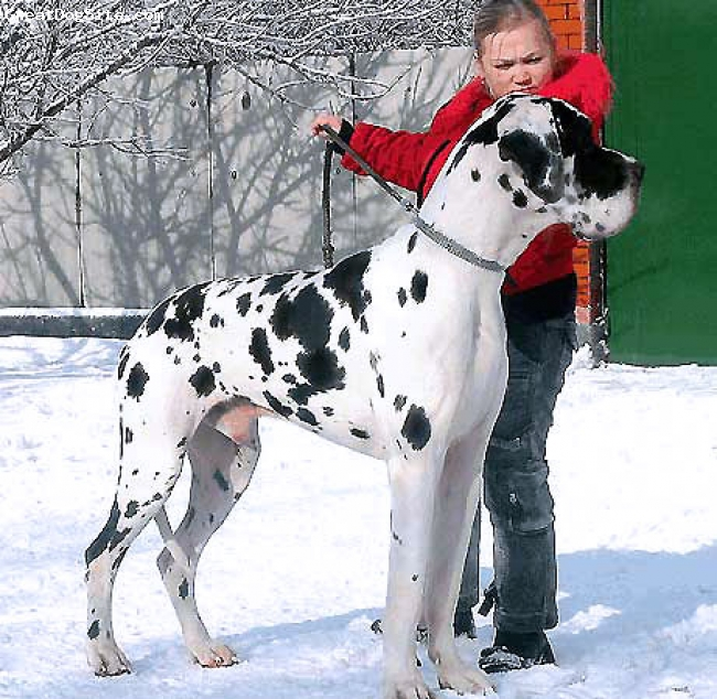 Great Dane, 6,5, harlequin, Champion of Russia, Junior Champion of Russia, RFSS Champion, 