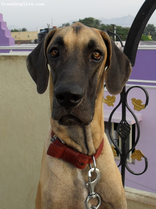Great Dane, 13 months, fawn with black mask, remo