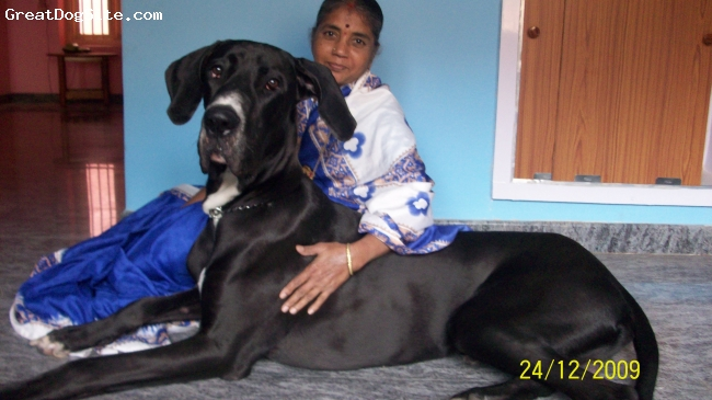 Great Dane, 15 months, Black with White Chest, I am from india...he came to my house when he was 39days old.