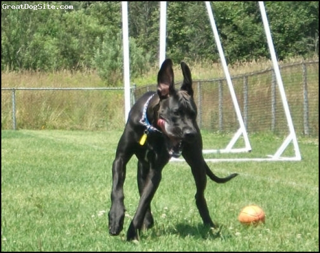 Great Dane, 17 months, Black, Luke playing with his annoying toy :)-