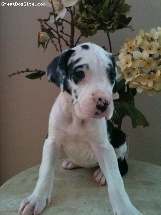 "Great Dane, 8 Weeks, Harlequin, My name is ""Shella"" and I'm 33% Euro Harlequin Girl Great Dane.   We have a beautiful Harlequin Female available for sale to an approved loving home. READY VALENTINES DAY.   She is beautiful, large for 8 weeks. Her Sire is a  stunning Large ½ Euro Harlequin weighing 165 pounds and 36 inches tall at the shoulder. The Dam is a beautiful ¼ Euro Mantle weighing 130 pounds and 34 inches tall at the shoulder, from CH Russian and Italian Bloodlines. Many decades of expertise in this bloodline, high percentage of Champions.   She will come with age appropriate vaccinations and de-worming, Certified Litter Certificate - AKC Registered, Contract and Pedigree. All puppies will come with a 2 year genetic health guarantee, available to loving homes on spay/neuter contract only.   For more information on this gorgeous and just beautiful Harlequin Girl,"