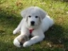 Great Pyrenees, 6 months, white