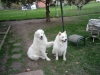 Great Pyrenees, 1 year 6 months, White with biscuit(tan)