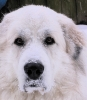 Great Pyrenees, 4 years, White