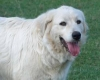 Great Pyrenees, 2.5, White