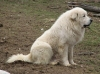 Great Pyrenees, 4 years, badger marked white