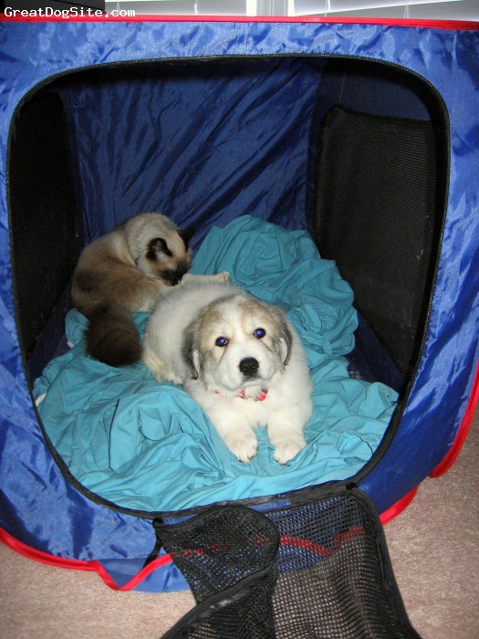 Great Pyrenees, 7.5 weeks, white, brown, first day home and the cats are loving it