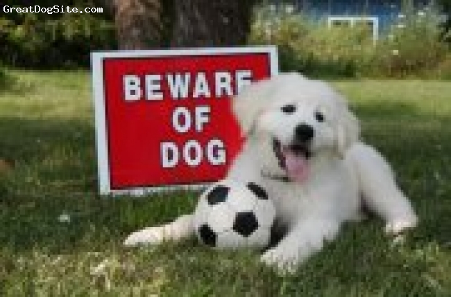 Great Pyrenees, nine weeks old, White, This was Casper when he was nine weeks old. We have taken a picture of him by the beware of dog sign since he was six weeks old. Now he is six months old and the sign looks really small!